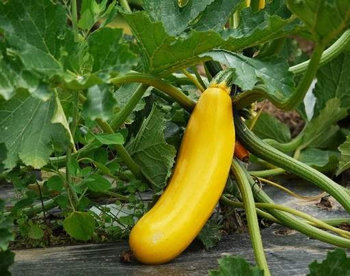 Squash on veg patch