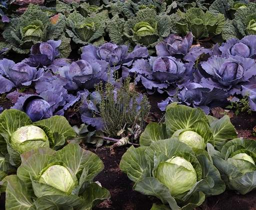 Vegetable patch of cabbage