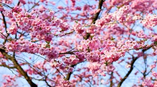 How To Grow Your Own Cherry Tree Jackson S Online Garden Centre