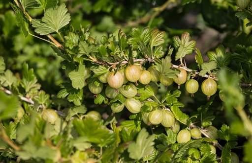 How to grow your own gooseberries - Jackson's Online Garden Centre