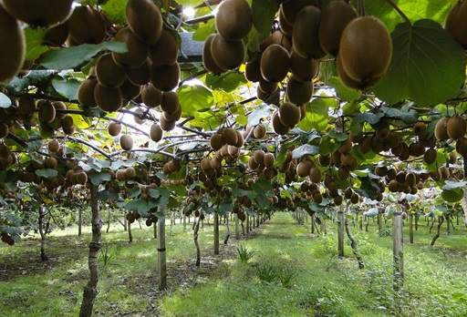Kiwi Fruit Pruning Pictures