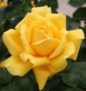 How To Plant Grow And Care For Hybrid Tea Roses Jackson S Nurseries