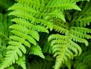 Guide to Garden Ferns Button