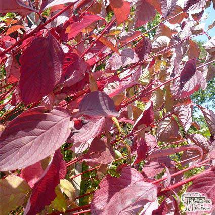 Guide to garden shrubs jacksons online garden centre known as dogwood cornus is a hardy deciduous shrub with strong upright and often colourful stems which grow quickly from the base mightylinksfo