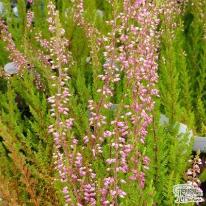 Calluna vulgaris Anette
