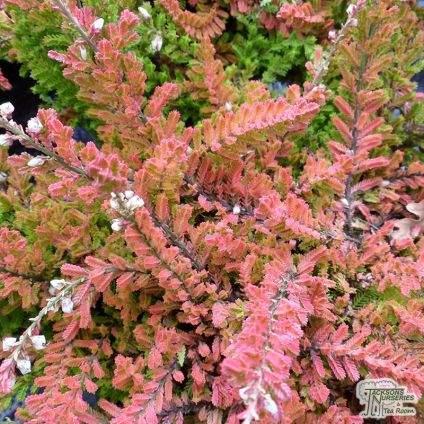 Calluna vulgaris Wickwar Flame