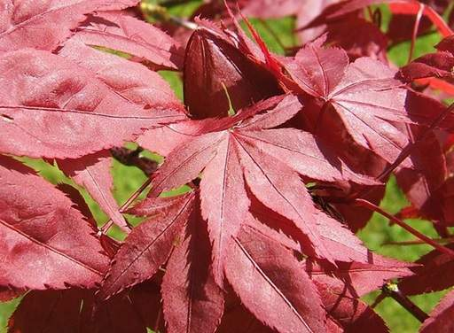 Guide To Japanese Maple Trees Jackson S Online Garden Centre