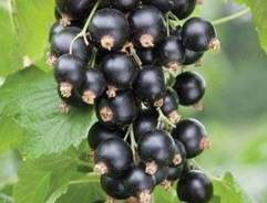 Blackcurrants button