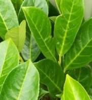 Laurel hedging plants