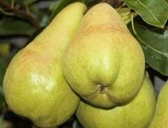 Pear button
