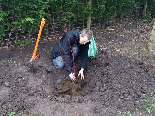 Positioning bare root cornus in planting hole