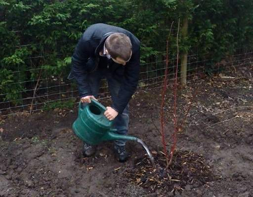 Watering bare root Cornus