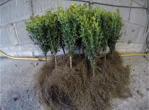 Bare root box plants in garage