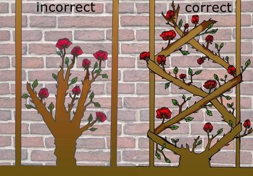 Correct way to train a climbing rose