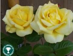 Difference hybrid tea floribunda roses