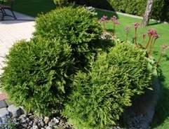 Dwarf rockery conifers