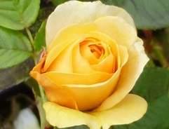 Floribunda rose absolutely fabulous