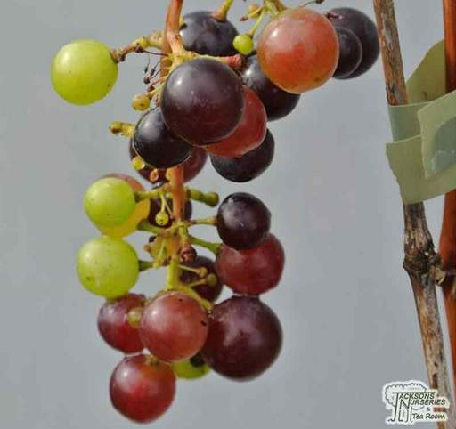 How to grow your own grape vines - Jackson's Online Garden