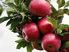 Grow your own Apple Tree
