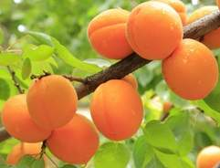 Grow your own Apricot Tree