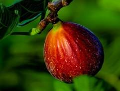 Grow your own Fig Tree