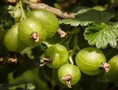 Grow your own Gooseberries