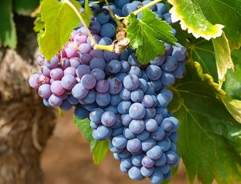 Grow your own Grape Vines