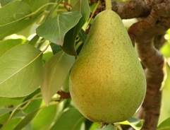 Grow your own Pear Tree