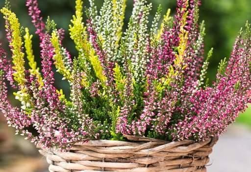 Heathers in plantenbak