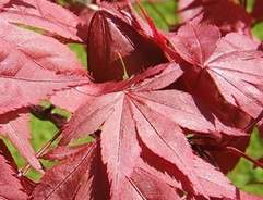 How to grow Japanese maple trees