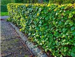 How to grow hedging plants