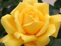 How to grow hybrid tea roses