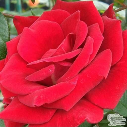 Hybrid tea rose Mister Lincoln
