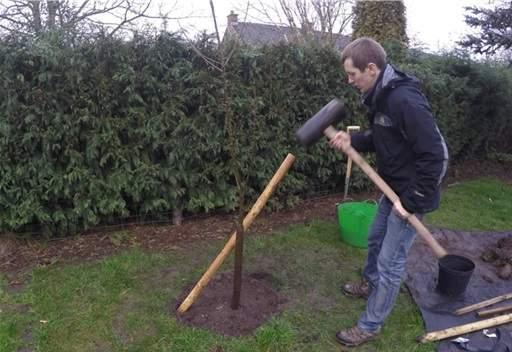 Knocking in tree stake