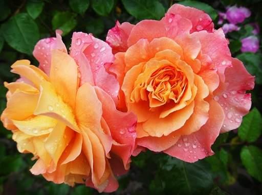 Guide To Hybrid Tea Roses Jackson S Online Garden Centre