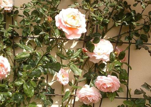 Pink climbing rose against support
