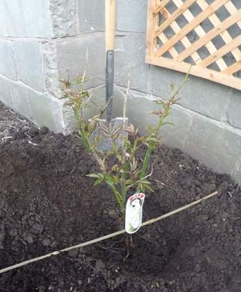 Planting a climbing rose