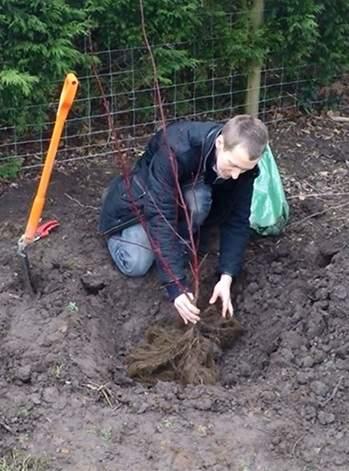 Planting bare root Cornus