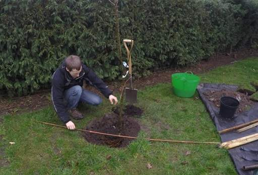 Positioning tree rootball in planting hole