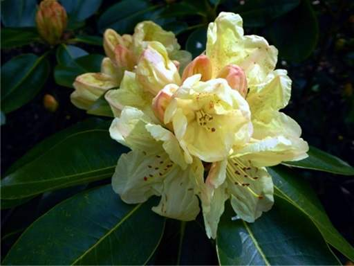 Rhododendron pale yellow flowers