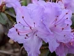 Rhodos and azaleas