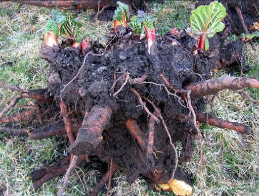 Rhubarb roots to divide