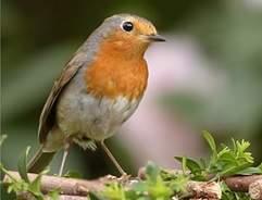 Robin on twig