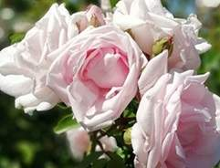 Rose New Dawn type of rose