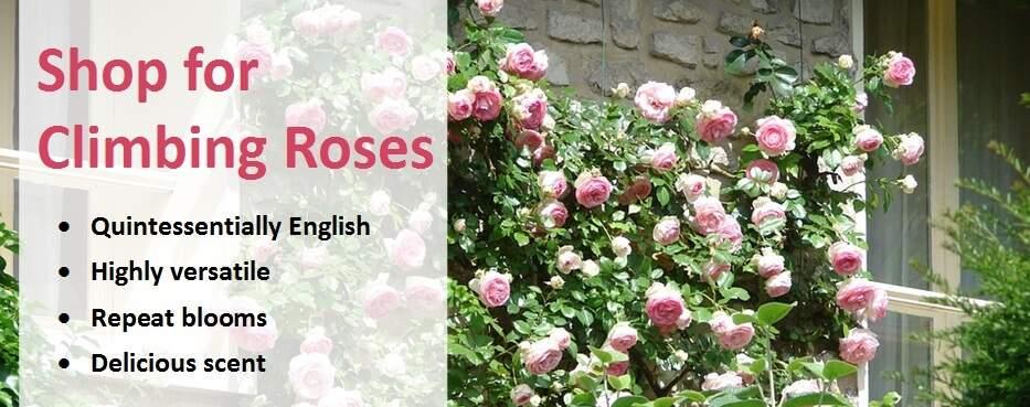 Guide To Climbing Roses Jackson S Online Garden Centre