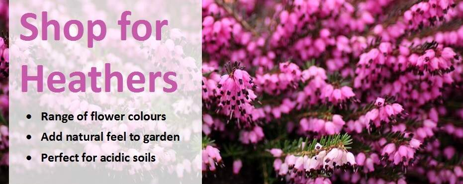 How To Plant Grow And Care For Heathers Jackson S Nurseries