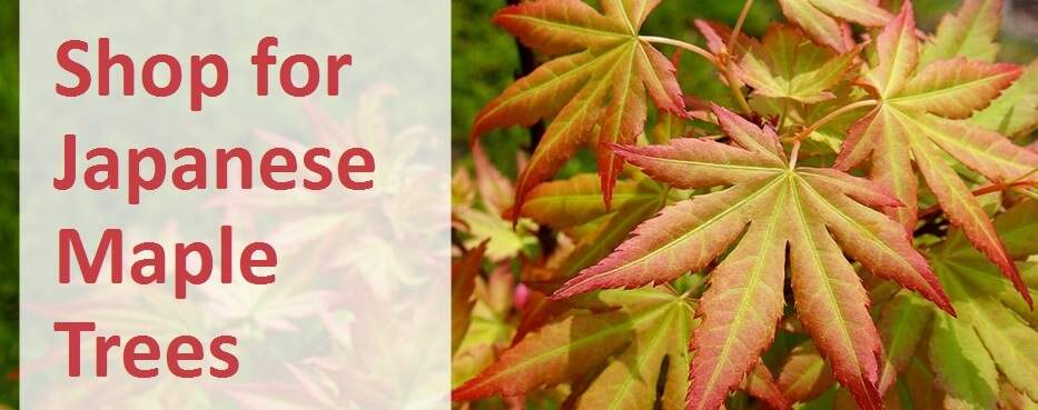 How To Plant Grow And Care For Japanese Maple Trees Jackson S Nurseries