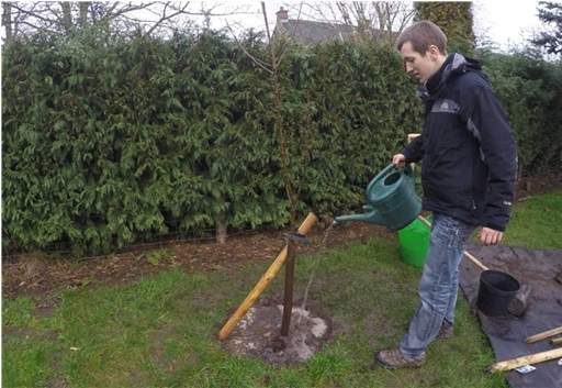 Watering planted tree