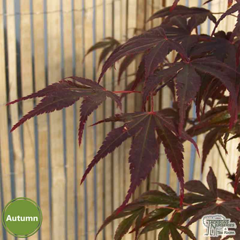 Buy Acer Palmatum Fireglow Japanese Maple In The Uk
