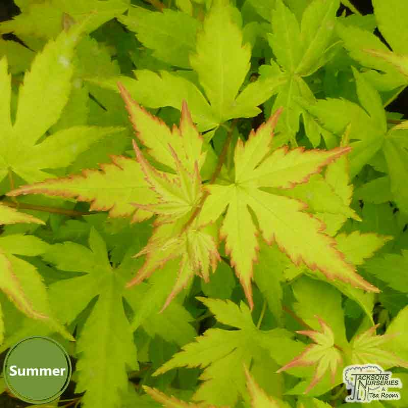 Buy Acer Palmatum Orange Dream Japanese Maple In The Uk
